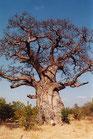 Grosshandel Bio Baobab Pulver 20kg
