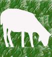 Weißes Schaf, grasend