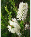 Cajeput (melaleuca leucodendron) 100% pure chémotypée