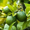 Citron Vert 10 ml (Citrus Latifolia) 100% pure chémothypée