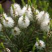Arbre à Thé (melaleuca alternifolia)   100%  pure chémotypée 10ml