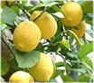 Citron (citrus limonum)          100%  pure chémotypée          10 ml