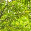 Litsee (Verveine Exotique) (Litsea cubeba) 100% pure chémotypée 10 ml