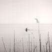 Diving Swan Art Print