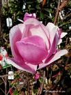 Sweet Rose -mehrtriebig - Einzelstück