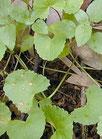 Centella asiatica (Mandukaparni)