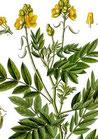Cassia angustifolia 10% (Svarnapatri)