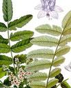 Boswellia serrata (Shallaki, Weihrauch)