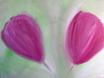 Margit Anglmaier: Tulpen
