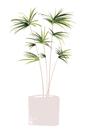 POSTER / KENTIA PLANT
