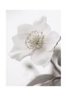 POSTER / PHOTO WHITE FLOWER