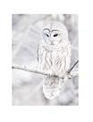 POSTER / PHOTO OWL