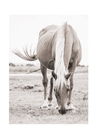 POSTER / PHOTO HORSE