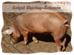Achtel Sharing-Schwein