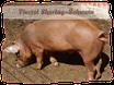 Viertel Sharing-Schwein