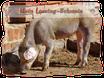 Mein Leasing-Schwein