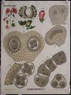 Lavatera trimestris (Fol. A)