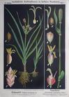 III. 2. Erdmandel & Negerhirse (oder Perlhirse) / Tiger nut (sedge) & Pearl millet