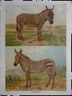 Esel & Zebra