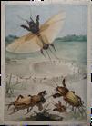 Maulwurfskäfer