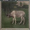 Addax-Antilope