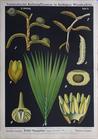 II. 3. Echte Sagopalme / True sago palm