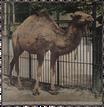 Einhöckeriges Kamel