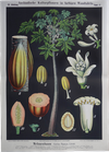 III. 17. Melonenbaum (Papaya) / Papaya
