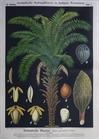 III. 3. Afrikanische Ölpalme / African oil palm