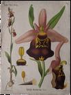 Ophrys Arachnites