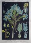 III. 10. Tragantstrauch / (Astragalus) Tragacanth