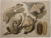 Seidenspinner (Bombyx Mori)