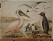 Pelikan und Pinguine