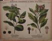 Nelkenpfeffer und Gewürznelkenbaum