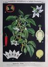 III. 21. Spanischer Pfeffer (Paprika od. Chilli) / (Bell or chilli) Peppers