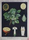 II. 24. Brechnussbaum / Strychnine tree (or Poison nut)