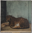 Leopard / Panther