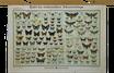 Tafel der einheimischen Schmetterlinge