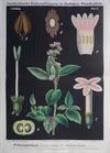 I. 17. Fieberrindenbaum (eigtl. Chinarinde) / Cinchona