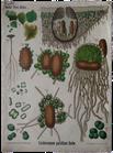 Endocarpon pusillum