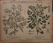 Gummiacacie und Indigopflanze