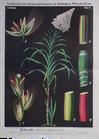 I. 6. Zuckerrohr / Sugarcane