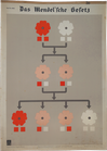 Das Mendel'sche Gesetz
