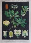 III. 19. Ebenholzbaum / Diospyros (Ebony or Persimmon trees)