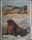 Seehund und Walross