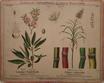 Gemeiner Mandelbaum und echtes Zuckerrohr