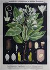 III. 8. Kopalbaum (Heuschreckenbaum od. Courbaril) / (Hymenaea) Courbaril