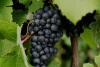 Pépins de Raisins (Vitis vinifera)  100 ml