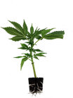Cinderella 99 - Brothers Grimm Seeds / cannabis clones