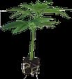 Ed Rosenthal Super Bud von Sensi Seeds Hanfstecklinge